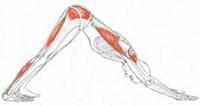 Étirement des muscles ischio-jambiers