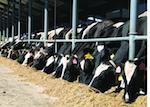 L'élevage bovin, quelles conditions de vie ?