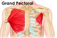 Le muscle du grand pectoral