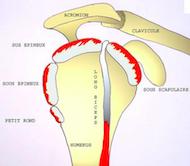 LA COIFFE DES ROTATEURS -l'ensemble des muscles et des tendons