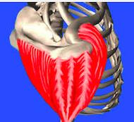 Un muscle composé de trois parties