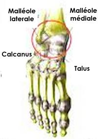 L'anatomie du pied
