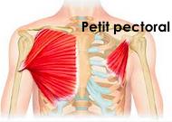Le muscle du petit pectoral