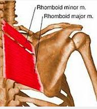 Rhomboîde majeur et minor