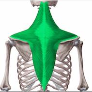 Le muscle du trapèze
