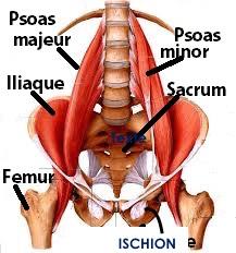 Fléchisseurs de la hanche