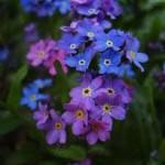 myosotis_violette