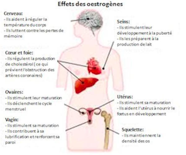 Principaux effets de l'œstrogène