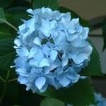 bleu-hortensia