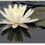fleurdelotus_nabandonnepas