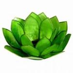 verte_fleure_lotus